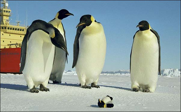 Several emperor penguins standing around looking at a penguin plushie
