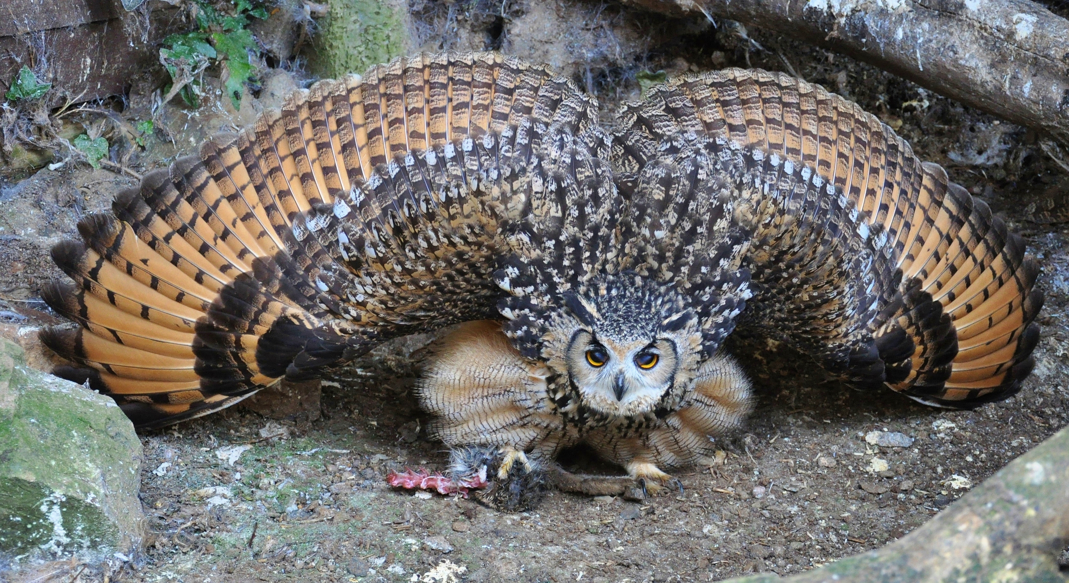 Owl spreading its wings.