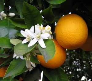 Orange fruit and blossom hanging from the tree.