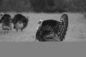 A wild turkey