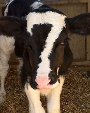 "Cow with ""7""-shaped marking on face"