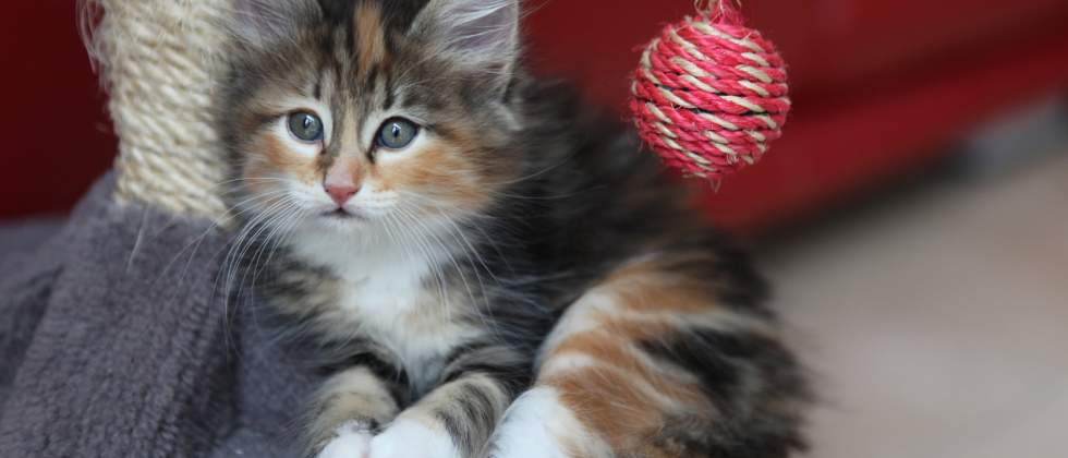 An adorable long-haired calico kitten. Instant eyebleach.