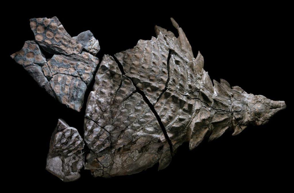 Nodosaur fossil