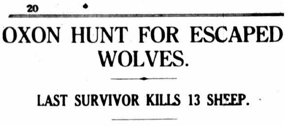 Headline: Oxon hunt for escaped wolves : last survivor kills 13 sheep