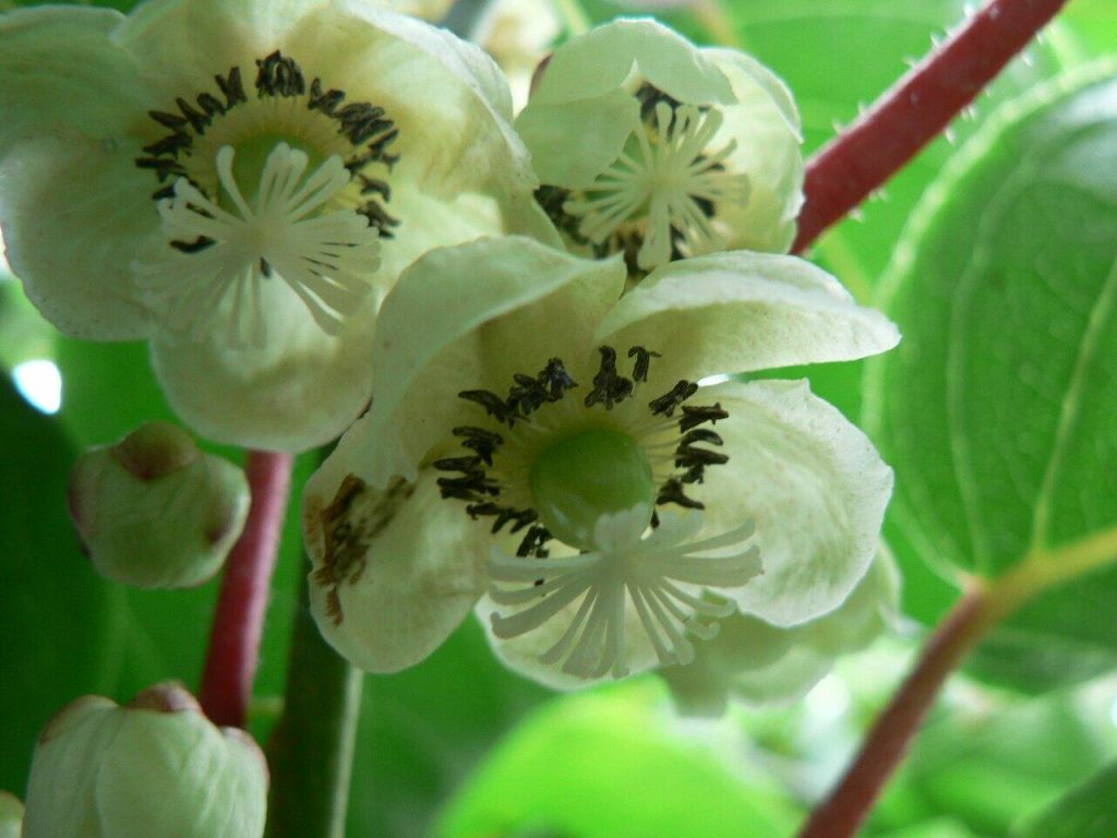 Kiwi flower
