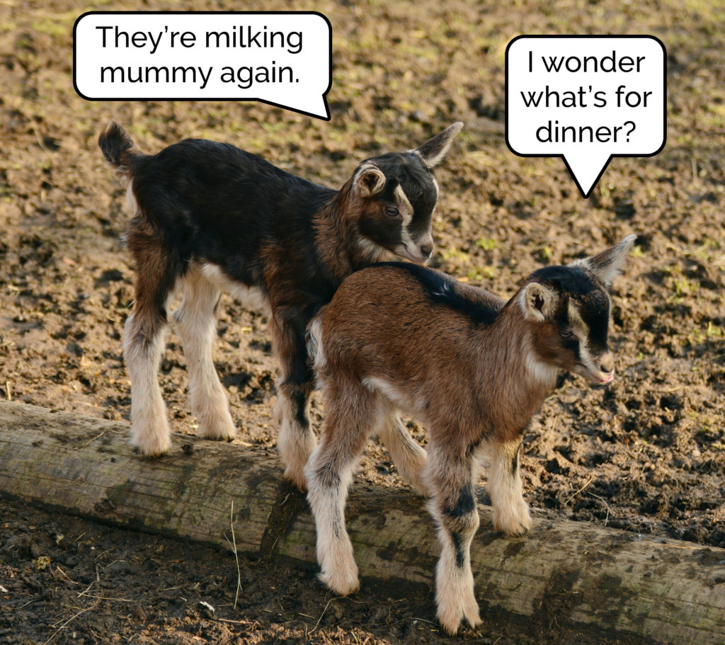 Two young goats talking. One observes that their mother is being milked. The other asks what's for dinner.