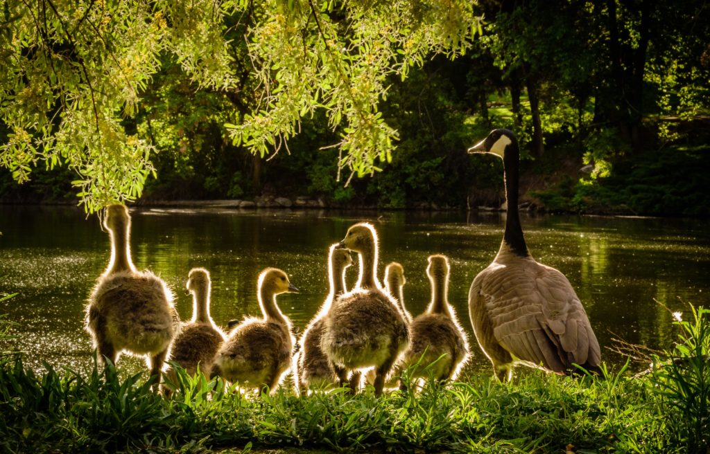 A Canada goose at a waterside accompanied by seven goslings. Photo by Brandon Montrone from Pexels.