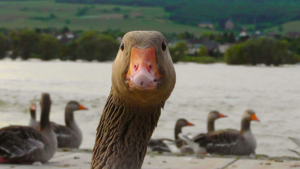 Face of a gosse, looking into the camera. Other geese can be seen swimming in the background.