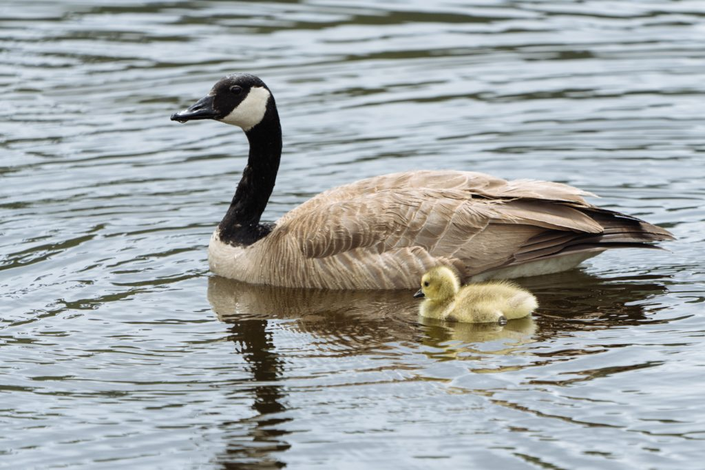 A Canada goose and young gosling swim together, side-by-side. Photo by Erick Todd from Pexels.