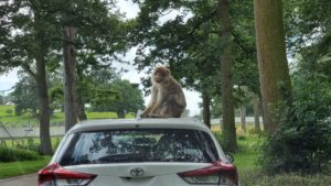 Monkey on roof of car.